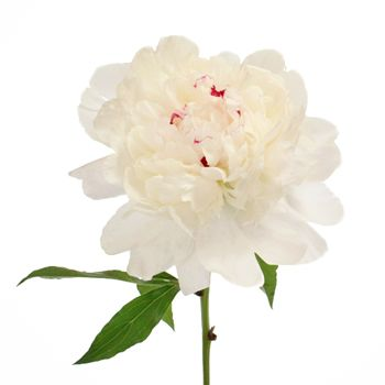 FiftyFlowers.com - Festiva White Peony Flower October Delivery