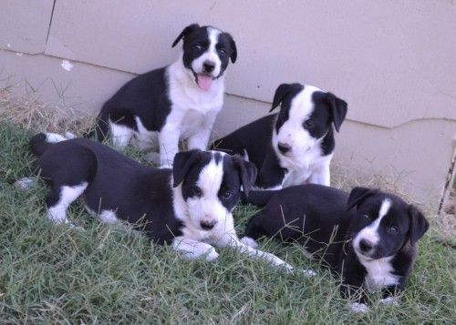 Trained Hanging Tree Dogs For Sale