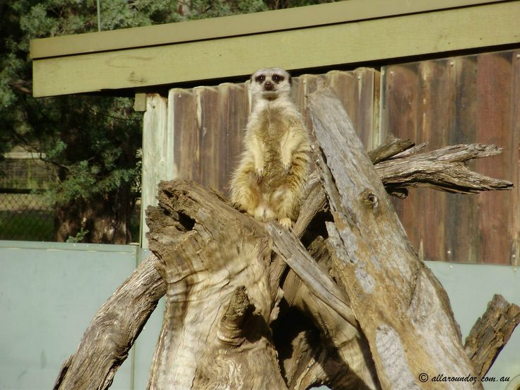 This Meerkat was keeping his eye on everything including us.