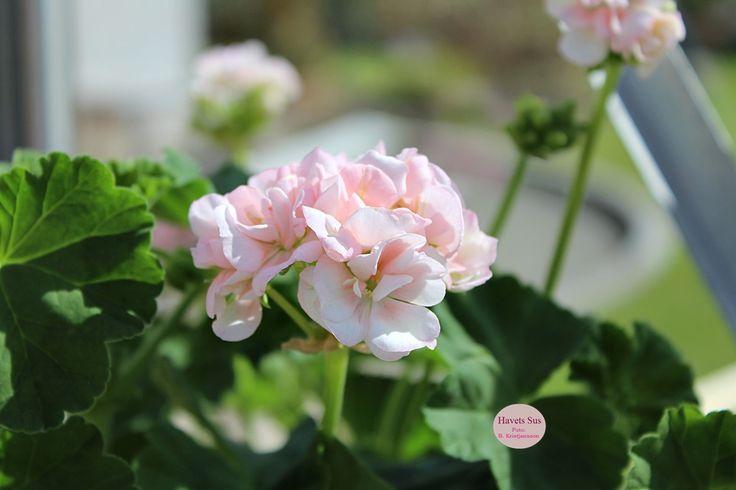 Pelargonie - pelargonium - pelargonia - haveglæde - hageglede - drivhus - havetssus