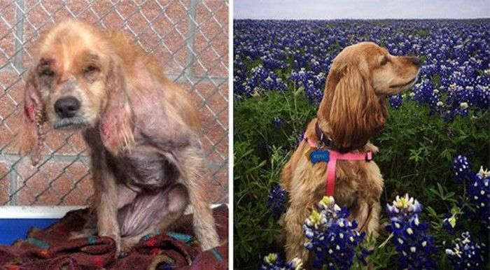 От доходяги до счастливого пса! 15 фото собак до и после чудесного спасения.