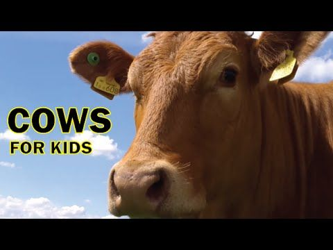 Cow Videos for Children, More Cows for Kids - YouTube