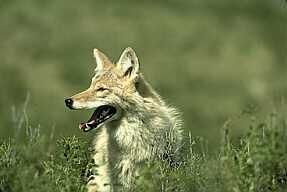 Coyote: Description, Habits and Control of Coyotes #dallas #rodent #control http://sudan.nef2.com/coyote-description-habits-and-control-of-coyotes-dallas-rodent-control/  # Coyotes The coyote, usually found only in the northwest corner of theUnited States, has adapted to changes caused by human development. The scientific name for coyotes,They have been spotted as far North asAlaskaandNew England, and now as far South asFlorida. Coyotes are now being commonly spotted in many urban areas. For…
