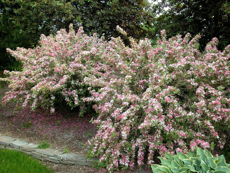 Weigela full sun south end of house perennial garden for Flowering landscape plants