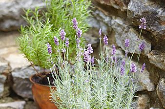 lavender and rossemary
