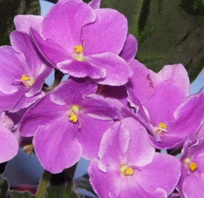 Dicas de profissionais para as suas violetas florirem o ano todo!