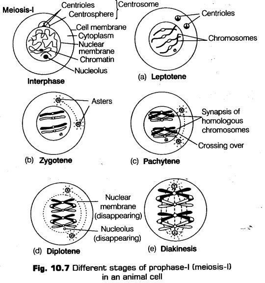 Cell Cycle and Cell Division - CBSE Notes for Class 11