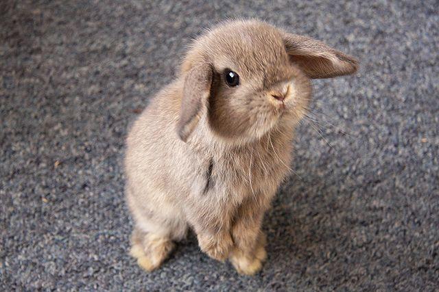 Het liefste, meest pluizige konijnenras dat er bestaat!
