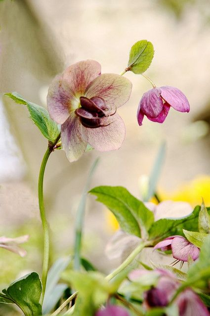 lovely purple hellebore flowers.