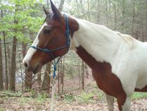 Raza de caballos Brumby