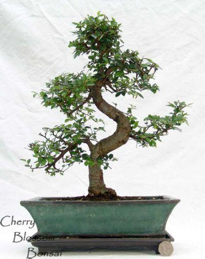 indoor trees chinese elm bonsai