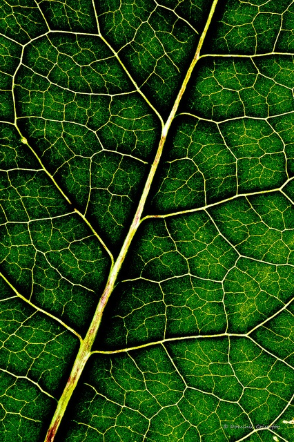 All sizes   Green leaf texture   Flickr - Photo Sharing!