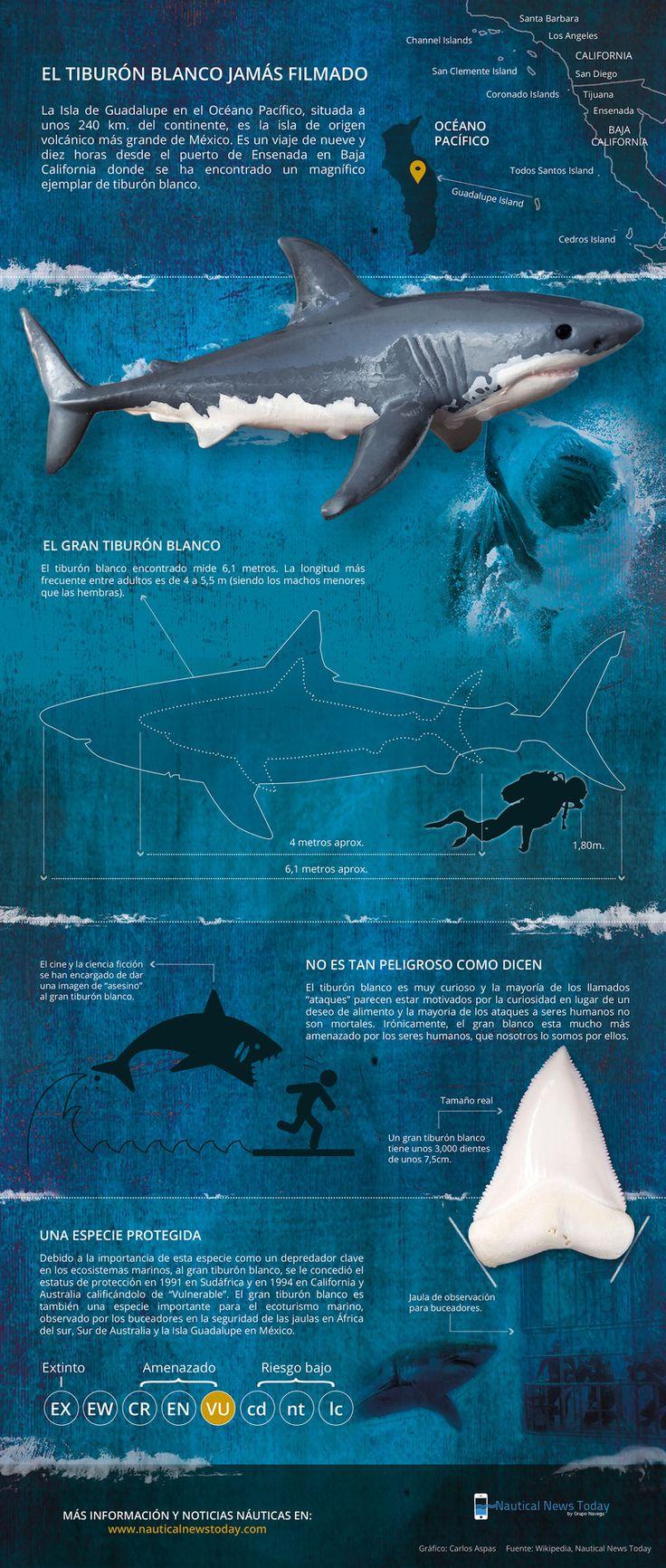 10 best tiburones images on Pinterest   Tiburones, Animales y ...