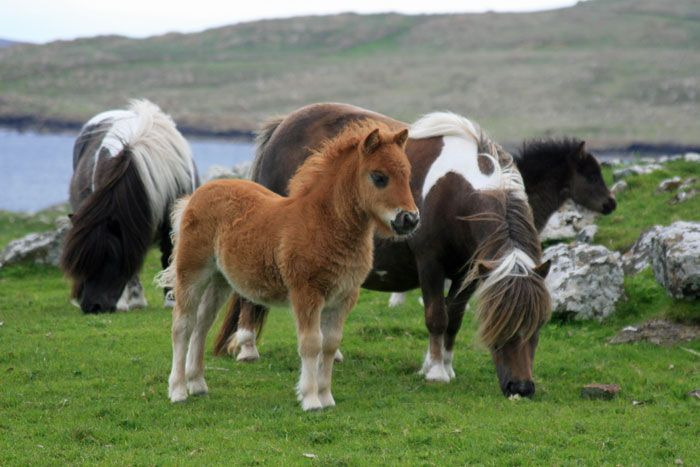 Shetland ponies in Scotland.