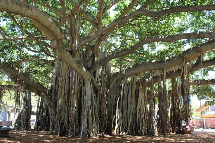 Banyan Tree-reminds me of home