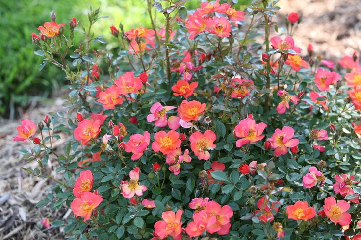 Oso Easy Hot Paprika® - Landscape rose - Rosa x | Proven Winners