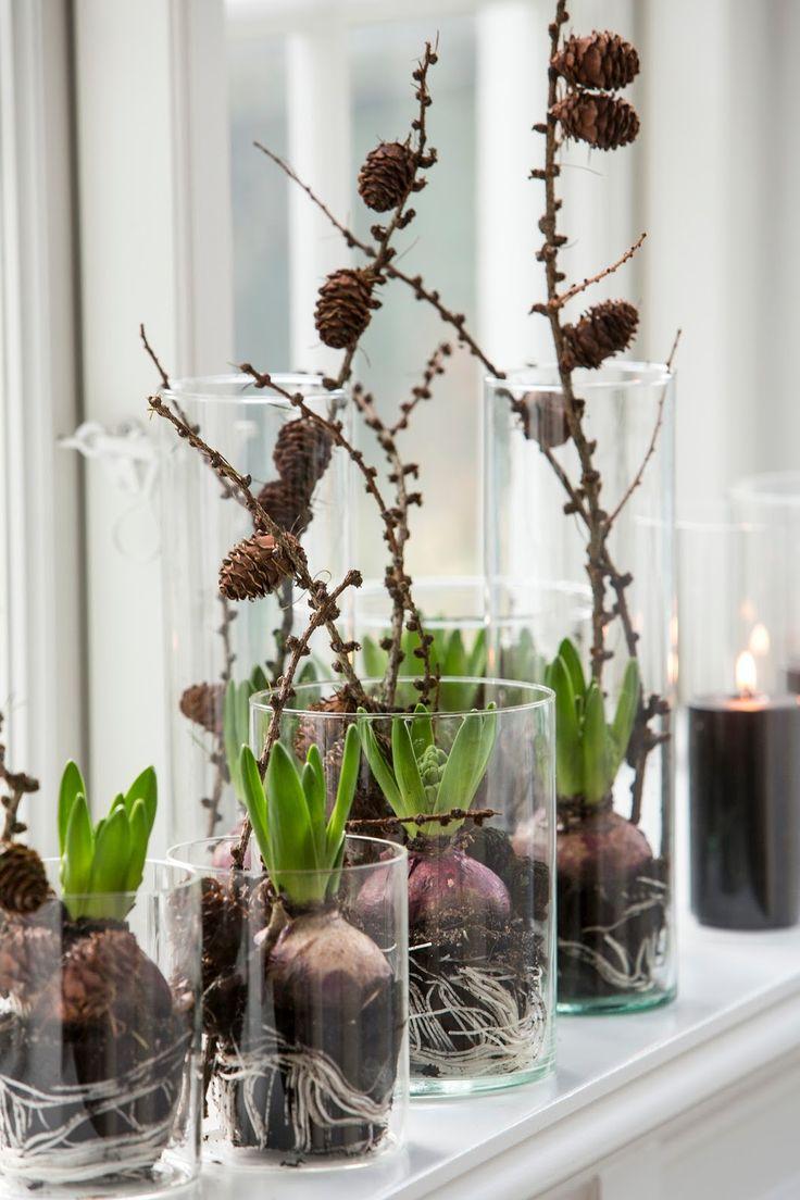 Hyasintteja, yksinkertaisia lasiastioita ja lehtikuusen oksia. Siinä ainekset lehtikuusisiin hyasinttiasetelmiin. Oksat tuovat upeas...