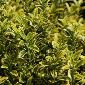17 mejores ideas sobre perennes de sombra en pinterest for Arbustos de hoja perenne resistentes al frio
