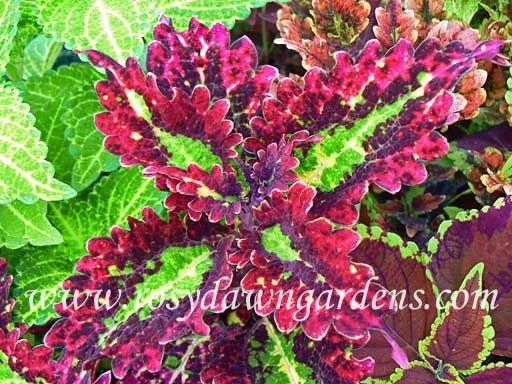 Cracklin' Rosie - Rosy Dawn Gardens, annual coleus for planters
