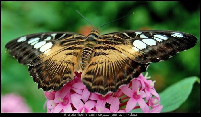 صور اجمل فراشات ملونة جديدة Insects Moth Animals