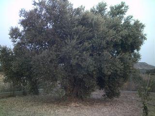 The Cyprus Garden Blog: Benefits of Olive leaf tea