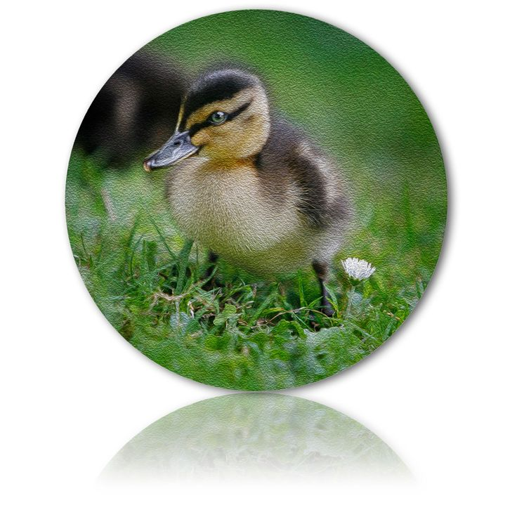 MALLARD DUCKLING - New life and simple joys to behold - Ian Anderson Fine Art . http://ianandersonfineart.com/