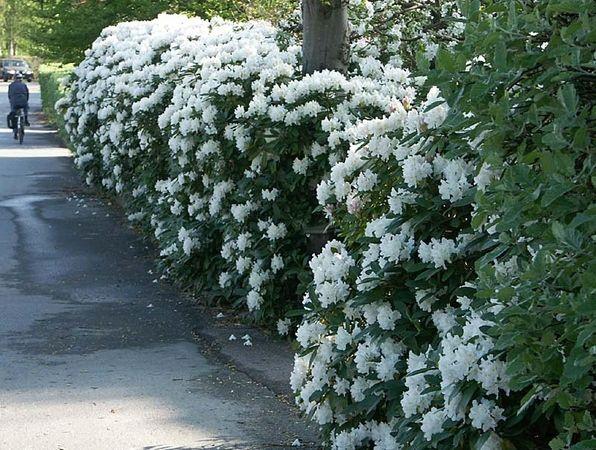 Häck av Rododendron