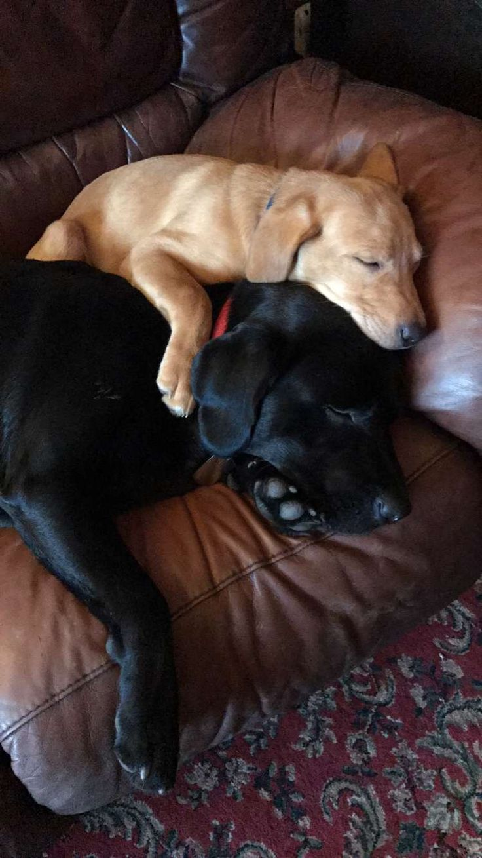 Labrador snuggles  #labradors #cute #puppy