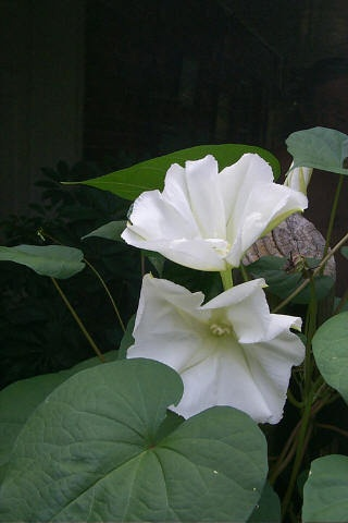 """The absolutely best vine for your deck, porch, or near an open window is the Moonvine (Ipomoea alba), not to be confused with Moonflower. Grown on a trellis or deck railing its night blooming 6"""" pure white flowers offer a fragrance to behold. Pull up a chair in the evening and watch the flowers unfold before your very eyes!"""