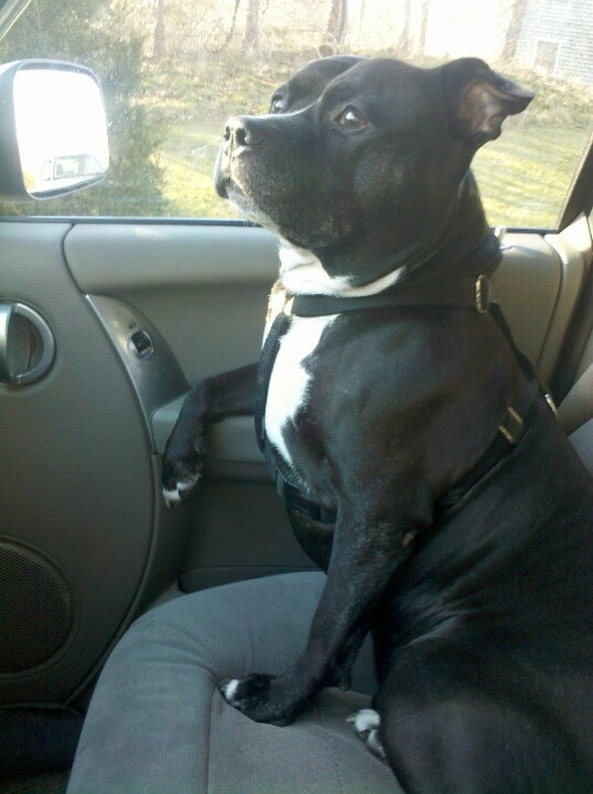 Staffordshire Bull Terrier... Mine is a rescue and I said I would never have one!
