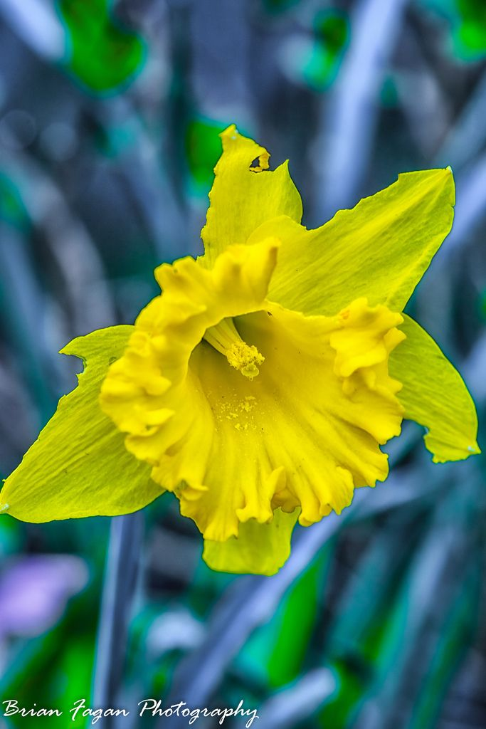 Daffodil Daffodils Flowers Plants