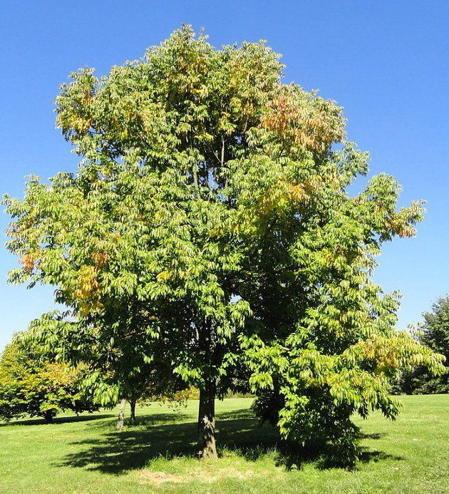 Fraxinus americana -- White Ash or American Ash, Z4