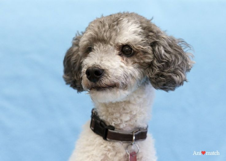 Domino a male miniature parti poodle available for