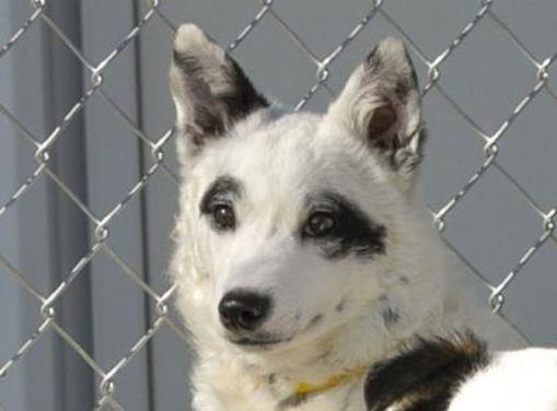 Colorado Springs Co Border Collie Meet Domino A Pet For