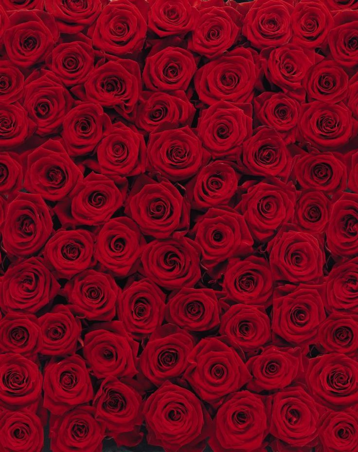 Fototapet Floral - Explozie trandafiri rosii decorare pereti. Aplicare usoara…