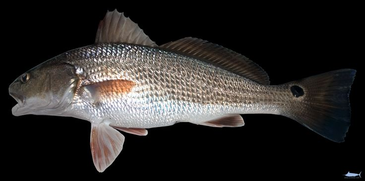 Are not striped drum fish