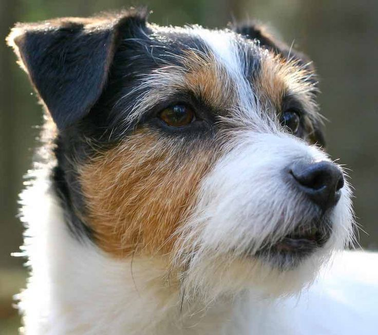 Dogs Like Jack Russell