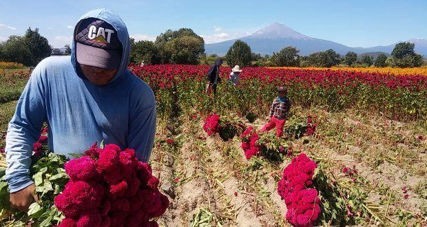 Reactiva flor de muerto la economía en la región de Atlixco – Metepec Atlixco Puebla