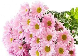 Różowe, Chryzantemy, Kwiaty