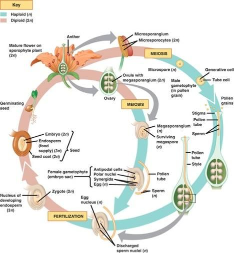 Life Cycle Of A Labeled Moss Diagram: Angiosperm Life Cycle Masteringbiology - Google Search