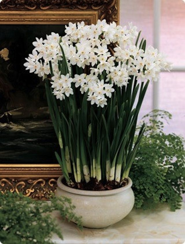 SANITY FAIR: A PASSION FOR PAPERWHITES-love paperwhites during the holidays.  Be sure to pot right after Thanksgiving to have blooms in late December...
