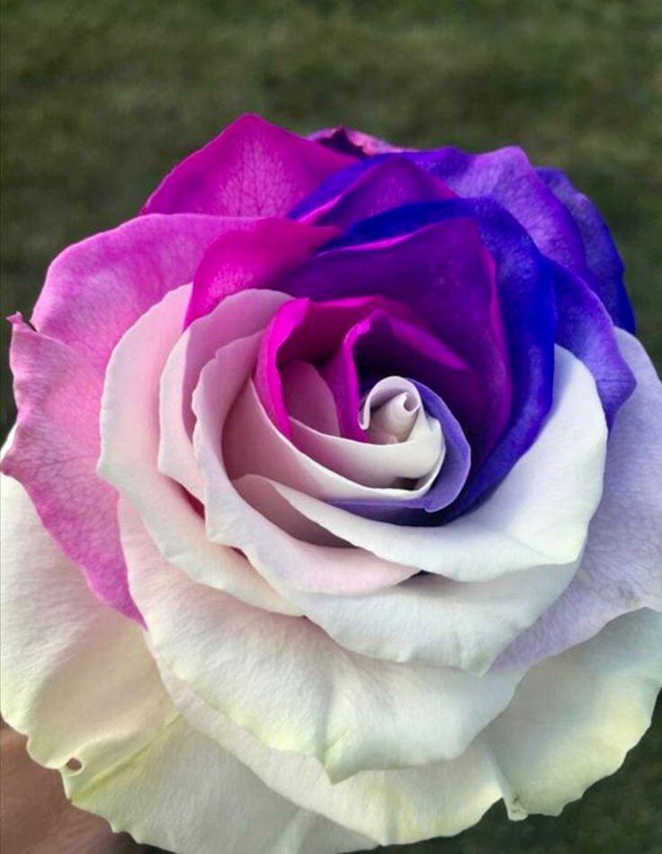 красивые редкие картинки розы это подборке