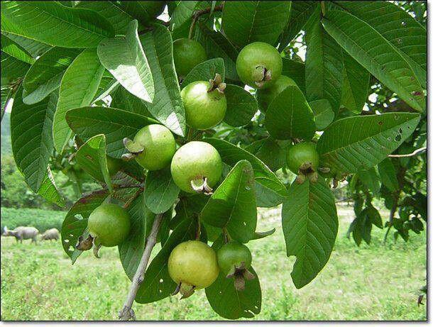 fruit in vagina olive vegetable or fruit