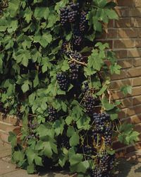 17 best images about zone 3 plants on pinterest for Table grapes zone 6