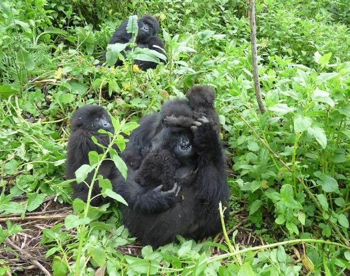 В джунглях Руанды подрастают кудрявые гориллы-близнецы