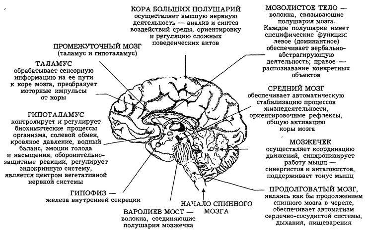Глава 4. Психика и мозг. Нейрофизиологические основы психики человека