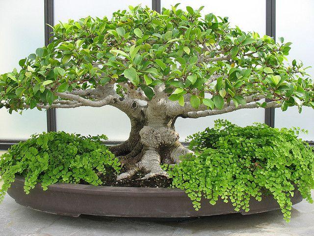 Ficus Microcarpa - bonsai <3