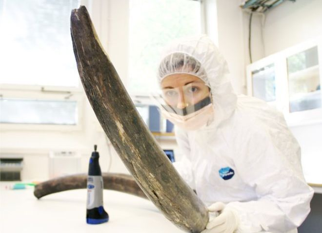 An international team of scientists has sequenced the complete genome of the woolly mammoth. A US team is already attempting to study the animals' characteristics by inserting mammoth genes into elephant stem cells.