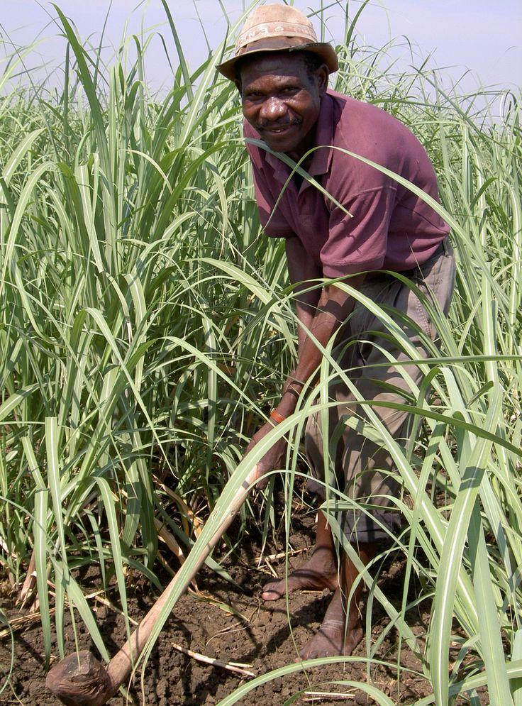 Kasinthula Sugar Cane Farmer