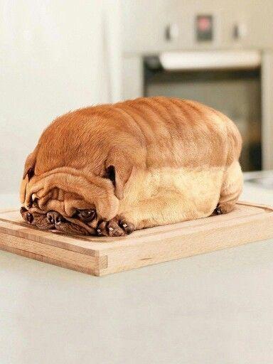 Reasons why id love a pug: Looks like a loaf of bread LOOKS LIKE A FREAKIN' LOAF OF BREAD!